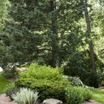 Garden with Pine Tree2